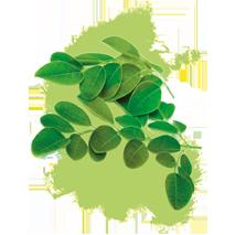 moringa oleifera blattpulver