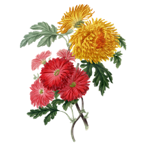 chrysanthemenblüte