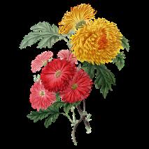 chrysanthemenblüte