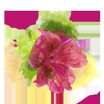 malvenblüte