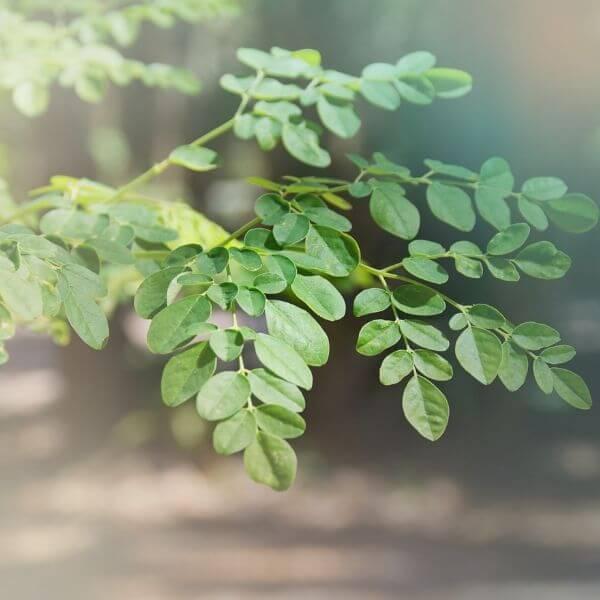leckeres gewürz mit moringa